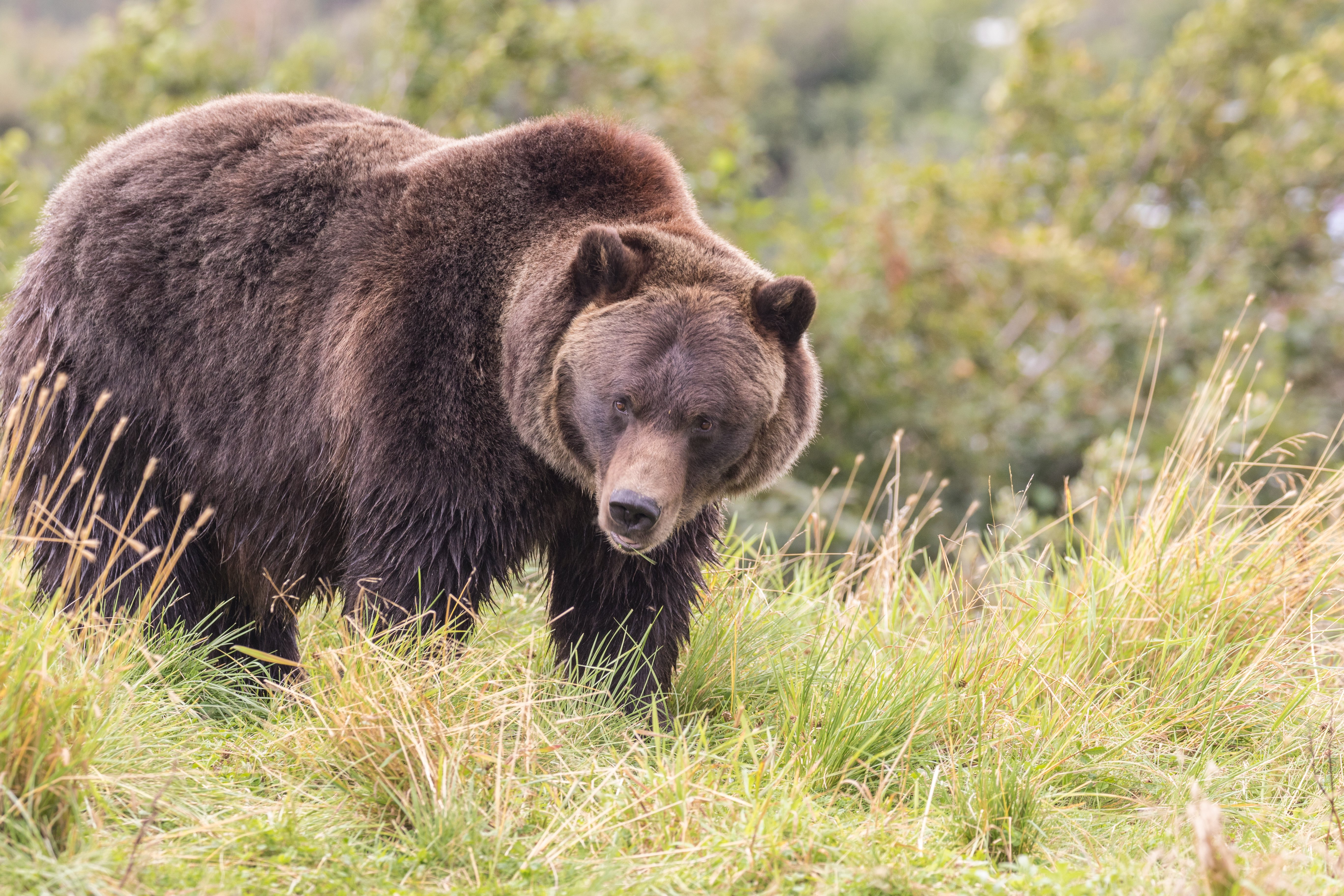 Grizzly Bear Trapping Begins