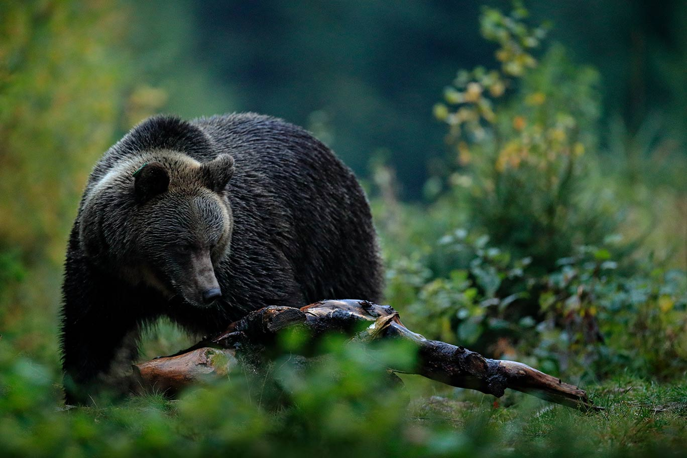Grizzly Attacks Hunter