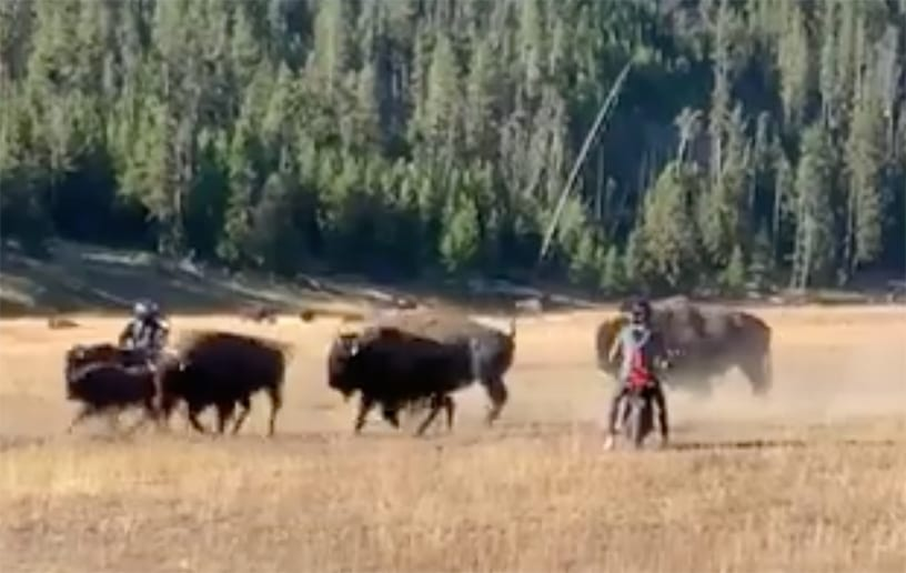 Morons Run Loose in Yellowstone