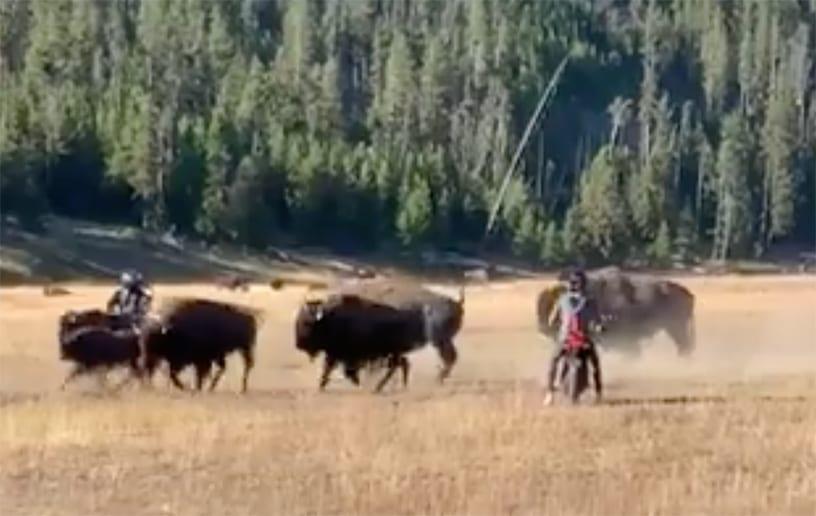 Morons Run Loose in Yellowstone