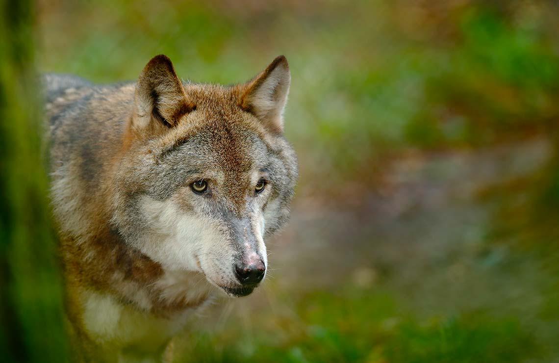 Wolf Hunt Closes