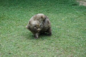 Happy Wombat enjoying life