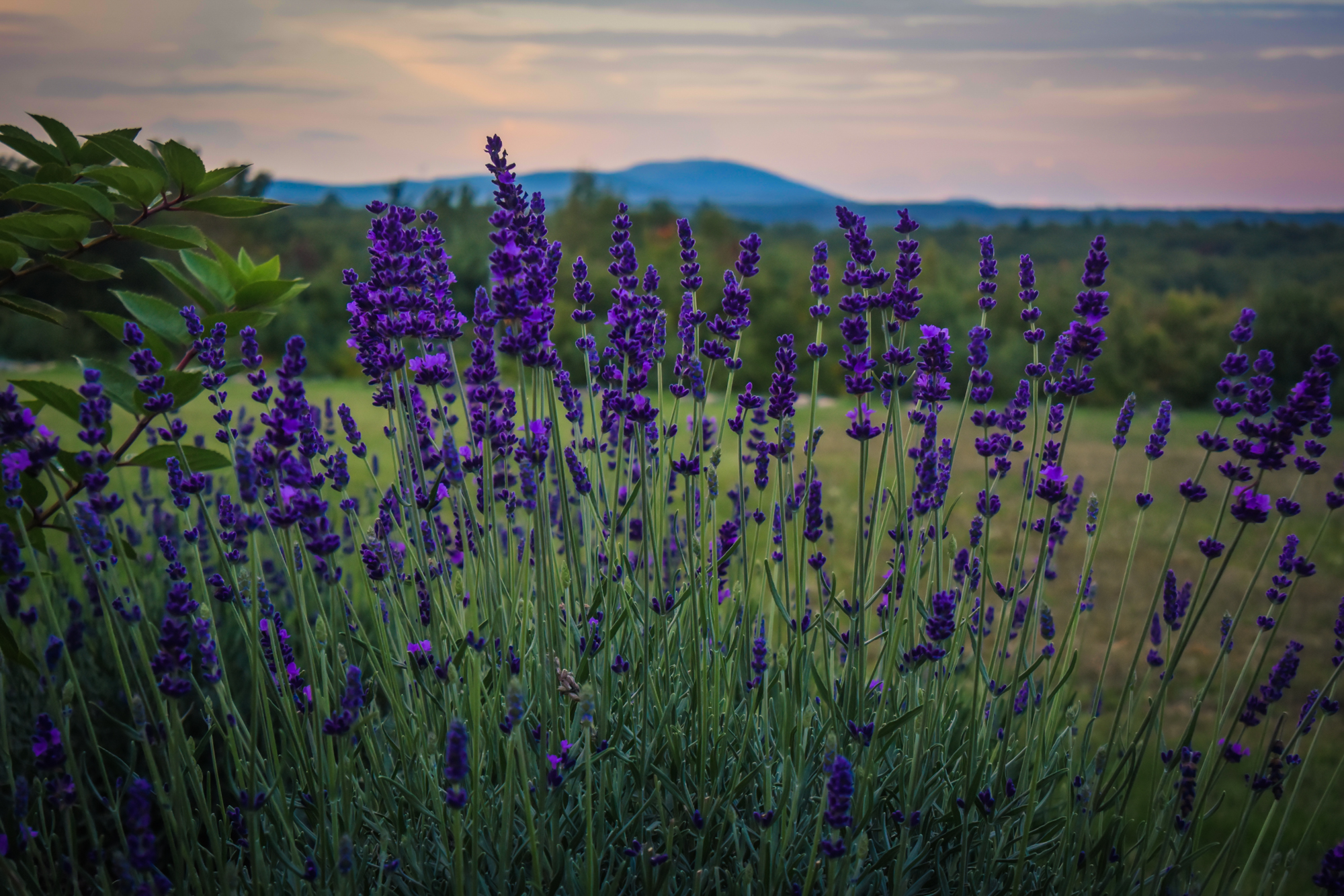 Couples Only Lavender Farm Experience