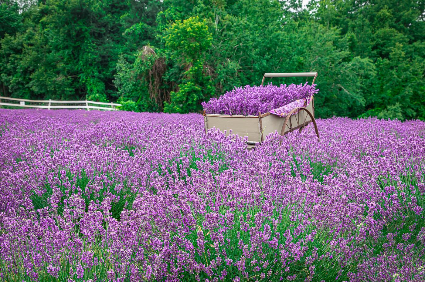 Lavender Farm Fest at SummitWynds