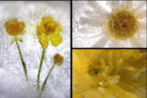 FROZENFLOWERS by Lesley Alsford