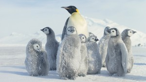 winter-snow-penguin-wallpaper-1