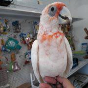 slender billed cockatoo