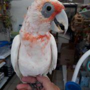 slender billed cockatoo 4