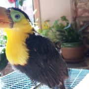 toucan baby 33