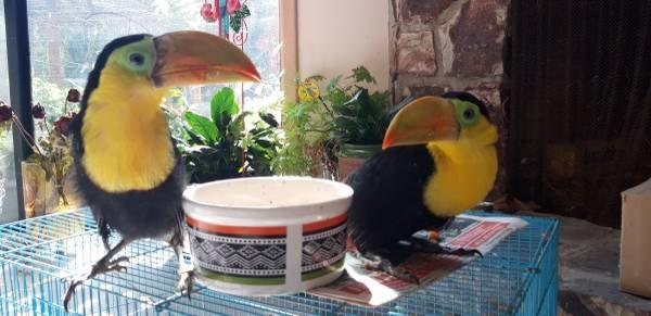 toucan baby