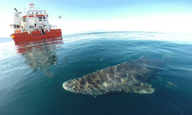 400 Year Old Shark Found in the Arctic Is World's Oldest Living Vertebrate 2