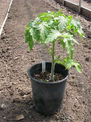 How to Correctly Plant Tomatoes to Get 5–8ft Plants 1