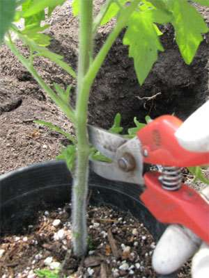 How to Correctly Plant Tomatoes to Get 5–8ft Plants 7