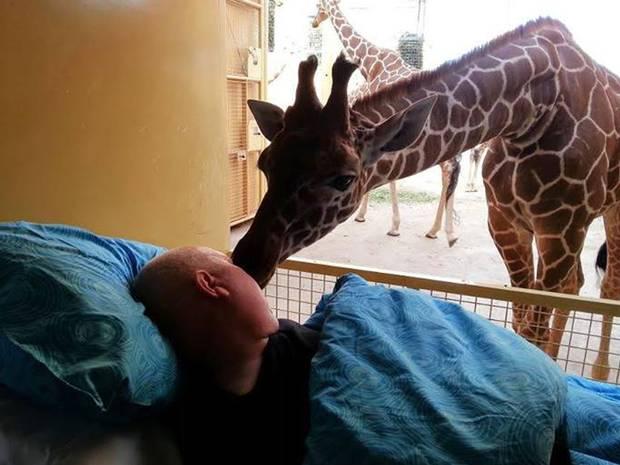 Giraffe Gives Dying Zoo Keeper Final Kiss Goodbye 1