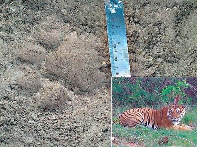 tiger sighting at Banergatta