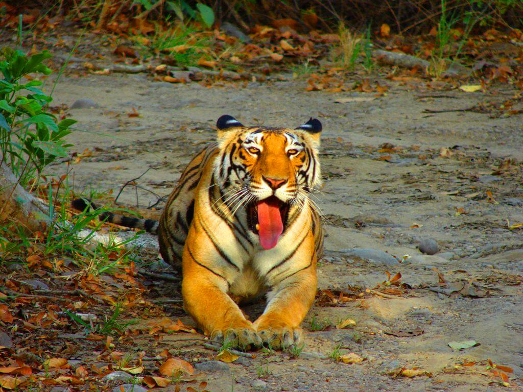 "Periyar Tiger Reserve, TOP 5 LONG WEEKEND WILDLIFE GETAWAYS FROM BANGALORE, WildTrails of India - ""Aggregator App for Your Wildlife Trip"" (We are an Aggregator App, bringing all of Indian wildlife & Nature resorts into one place to help YOU find your ideal destination/resort based on your personal preferences!! Will aggregate Wildlife/Nature Resorts, National parks, (bird & animal) Sanctuaries, Tiger & Elephant reserves, Organized photographic oriented wildlife tours, Camera, Lens & related equipment Rentals, Cab/Car Rentals, Photography Workshops, info about Indian Animals & birds, Tourist Guides and lot more. Currently we are covering Bandipur, Nagarhole (Kabini & Coorg), Coorg & Bird Sanctuaries close to Bangalore.) PS1: The app will be released soon and will be a paid app. Please register for our Beta program to qualify for a free app. PS2: Please be a responsible wildlife tourist; No littering, No sounds, No feeding, no getting down from the safari jeep, No calls, Phones to Silent mode or Airplane mode or Switch off. Remember we are visiting their home and when we are there, let's follow their rules."