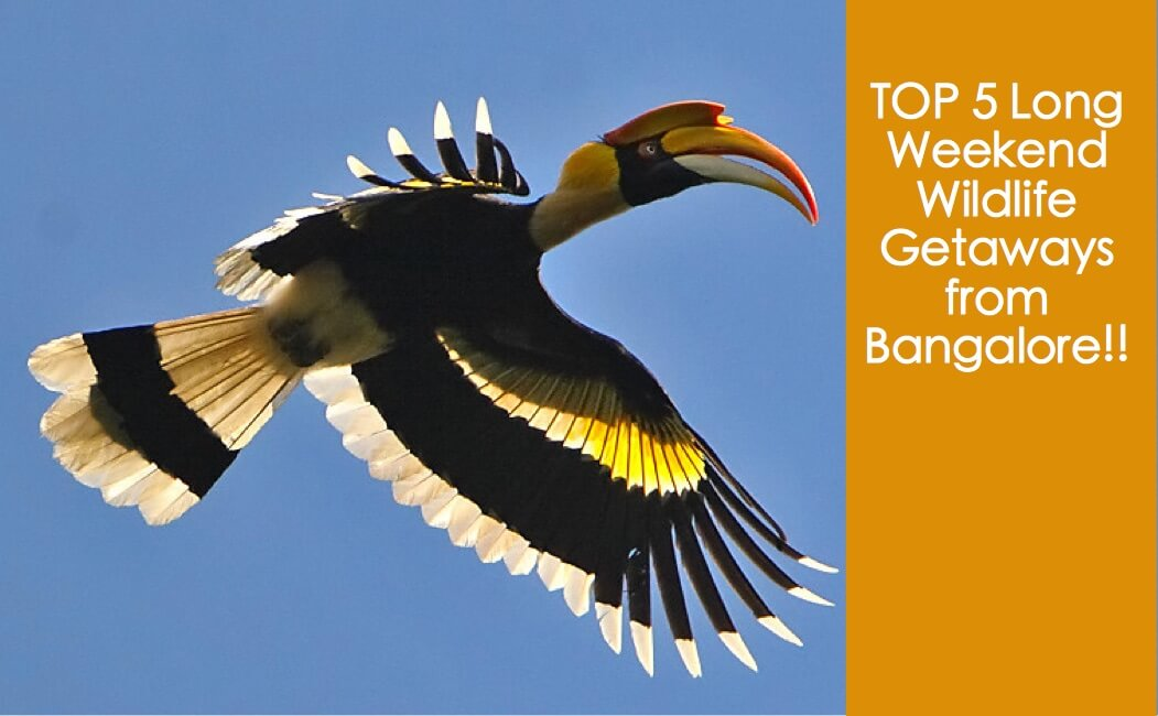 """Top 5 long weekend wildlife Getaways from Bangalore, Dandeli, Anshi, Daroji Sloth Bear, Periyar, Eravikulam, WildTrails of India - """"Aggregator App for Your Wildlife Trip"""" (We are an Aggregator App, bringing all of Indian wildlife & Nature resorts into one place to help YOU find your ideal destination/resort based on your personal preferences!! Will aggregate Wildlife/Nature Resorts, National parks, (bird & animal) Sanctuaries, Tiger & Elephant reserves, Organized photographic oriented wildlife tours, Camera, Lens & related equipment Rentals, Cab/Car Rentals, Photography Workshops, info about Indian Animals & birds, Tourist Guides and lot more. Currently we are covering Bandipur, Nagarhole (Kabini & Coorg), Coorg & Bird Sanctuaries close to Bangalore.)"""