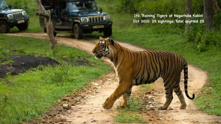 Tiger sightings at Nagarhole Kabini; [The WildTrails of India is the best way to get all the details about Indian wildlife sanctuaries (best travel times, safari details, animal sightings, forest accommodations pairing, wildlife related activities, prices, etc). Learn more about WildTrails of India here. ios App is here. Android and Web is on the way ]