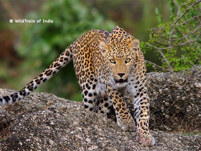 """Peppara Wildlife Sanctuary. WildTrails of India - """"One Stop Destination for all Indian Wildlife Enthusiasts"""""""