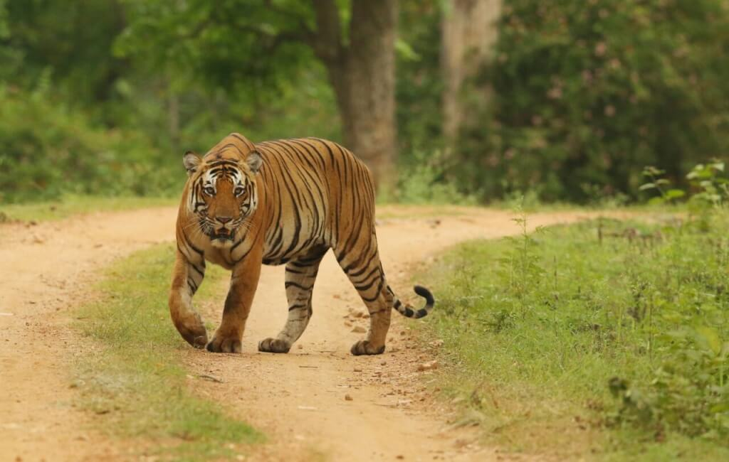 TOP 10 Wilderness Resorts of Kabini (Nagarhole) & Bandipur - The WildTrails of India app is the best way to get all the details about Indian wildlife sanctuaries (best travel times, animal sightings, safari details, accommodations, activities, prices, etc). If you'd like to get an early preview of the app, please register for free on our Beta program here. Learn more about WildTrails of India here.