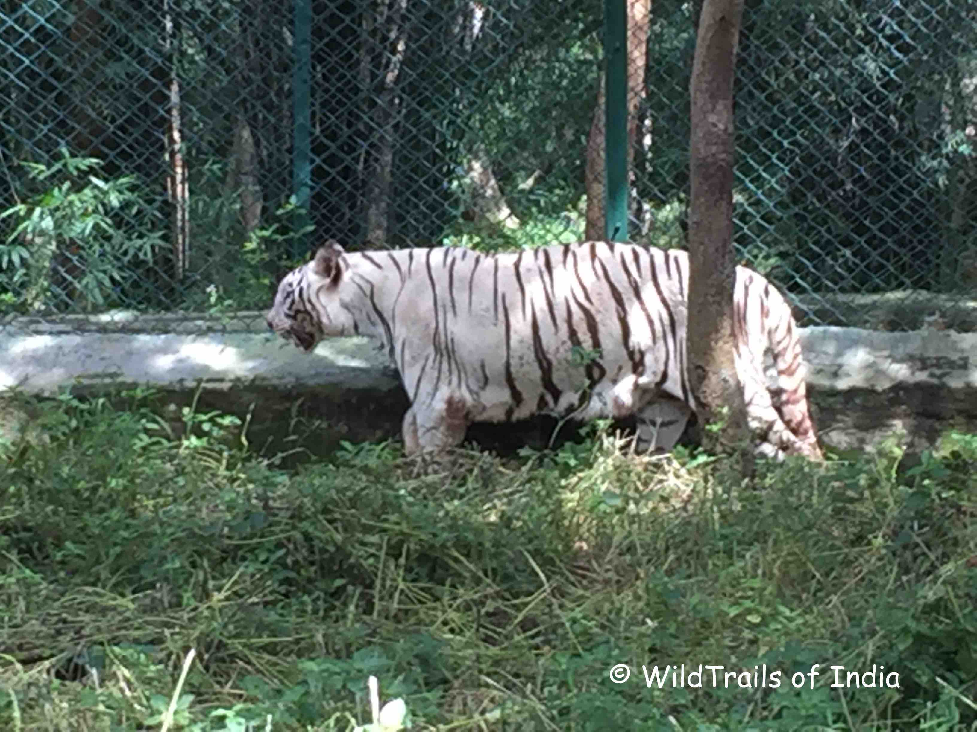 Bannerghatta Zoological Park; [The WildTrails of India is the best way to get all the details about Indian wildlife sanctuaries (best travel times, safari details, animal sightings, forest accommodations pairing, wildlife related activities, prices, etc). Learn more about WildTrails of India here. ios App is here. Android and Web is on the way ]