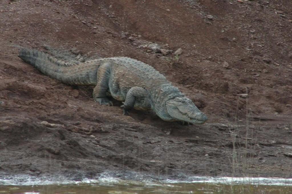 Crocodile Bhadra Tiger Reserve