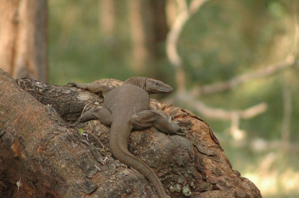 Monitor Lizard Bhadra Tiger Reserve