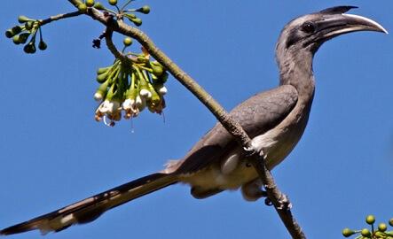 indian grey hornbill small