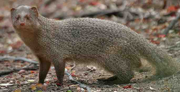 indian-grey-mongoose-small