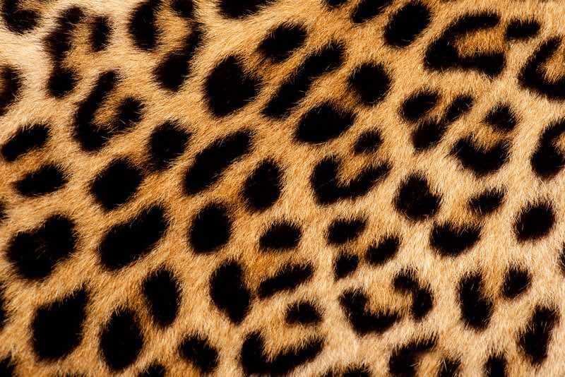 leopard fur wildtrails