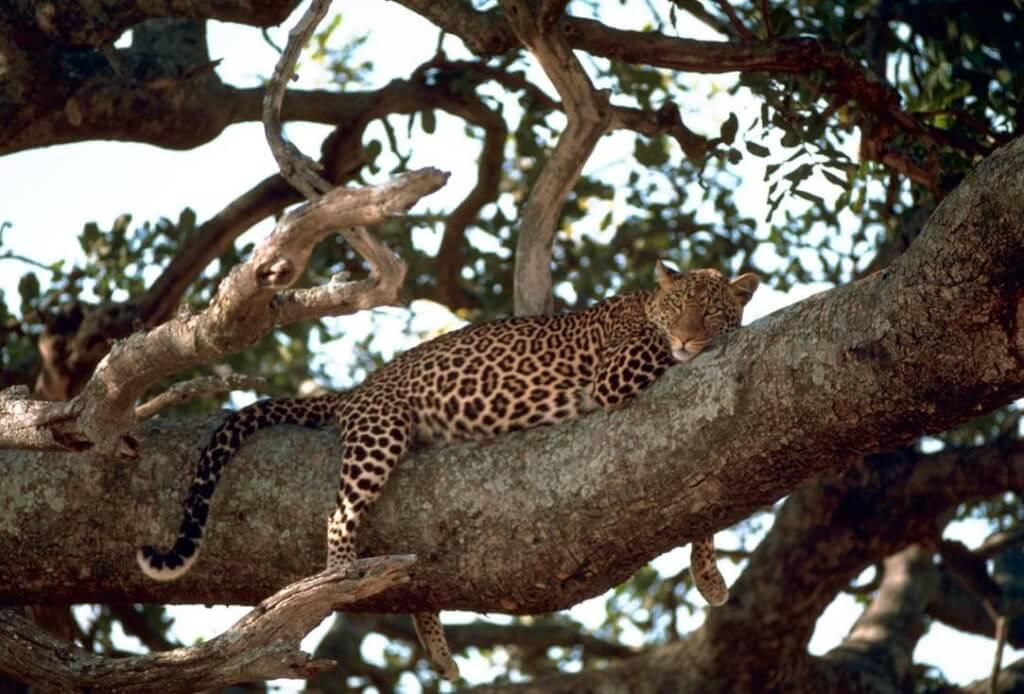 leopard on a tree - wildtrails