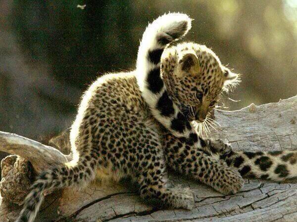 Leopard cub Wildtrails