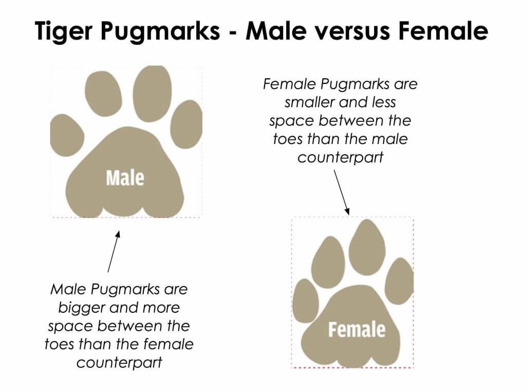 male versus female tiger pugmark. tiger versus tigress pugmark