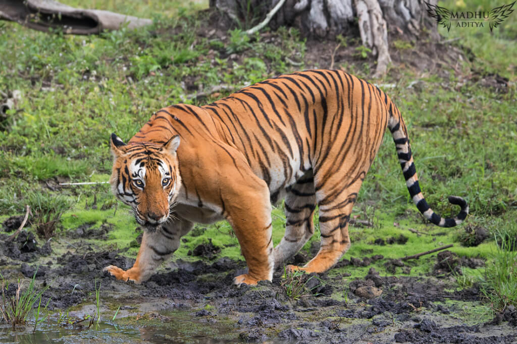 prince of bandipur