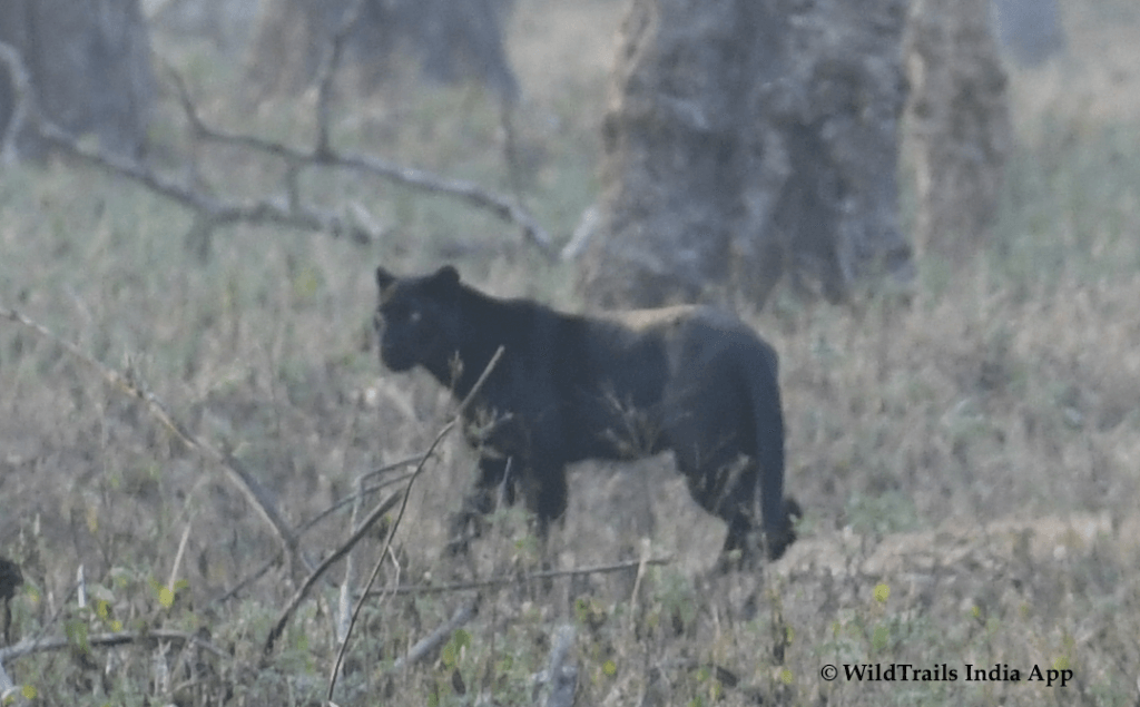 Black Panther Kabini