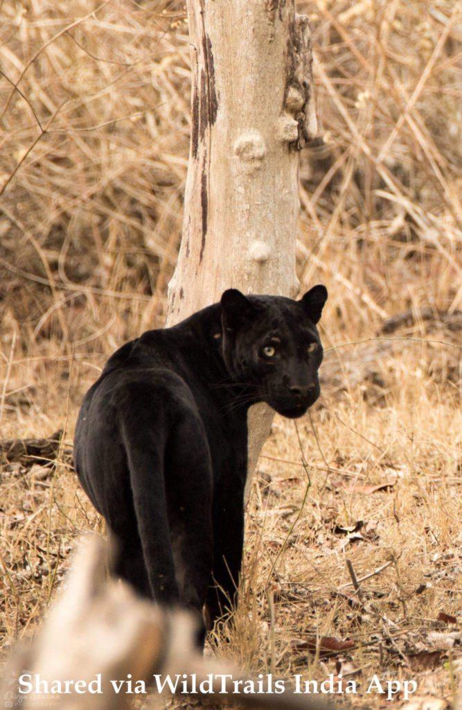black panther kabini