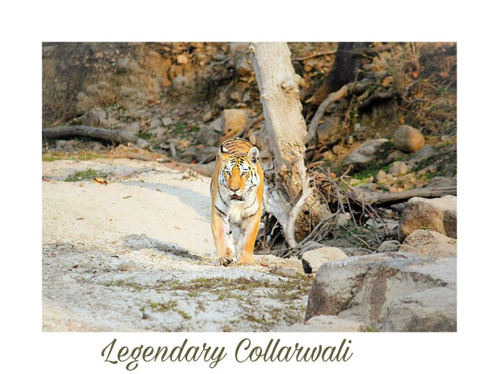 collarwali pench