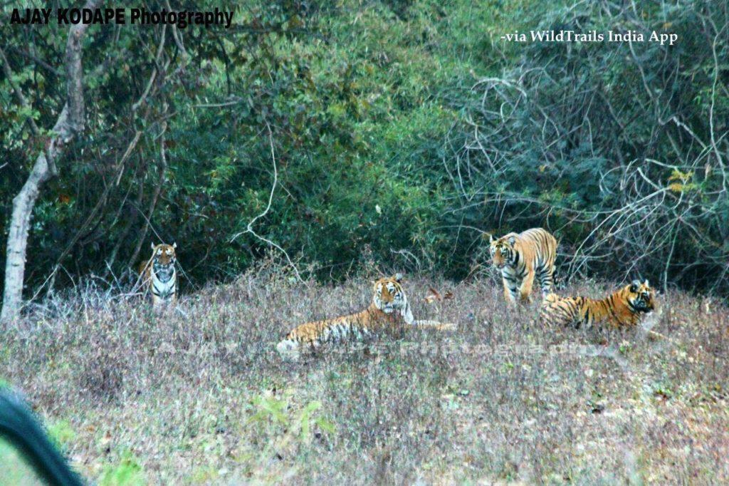 tigers at tadoba buffer