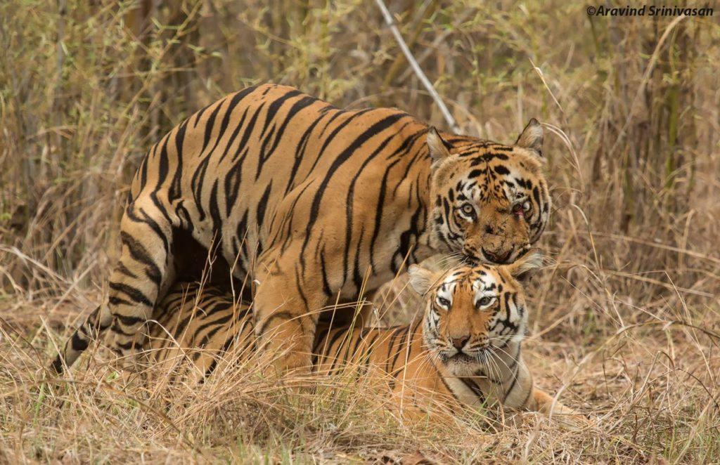 tadoba tigers Gabbar maya