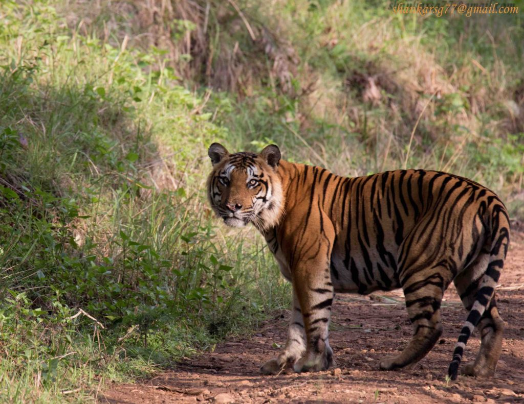 top 5 tiger reserves near Bangalore BRT tiger