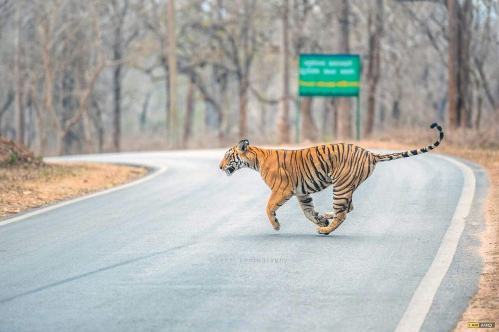 tiger in kabini