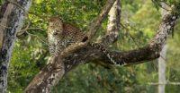Leopard At Nagarhole