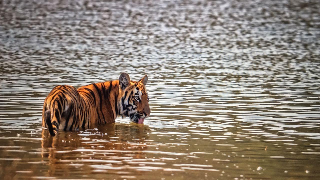 top tiger reserves near hyderabad