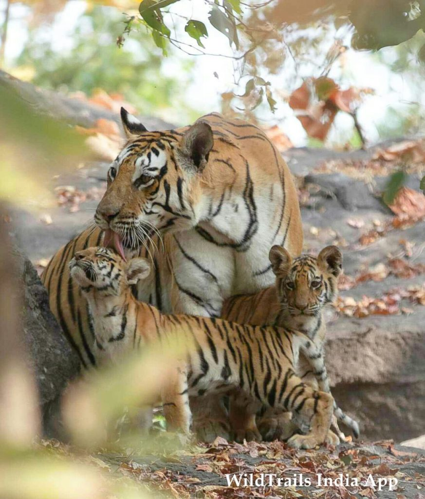 top tiger reserves near hyderabad pench