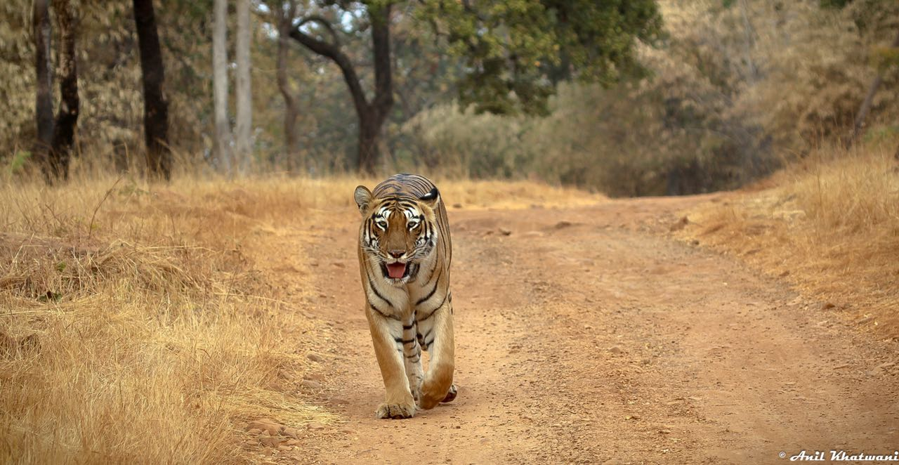3 easy steps for an amazing tadoba trip from bangalore