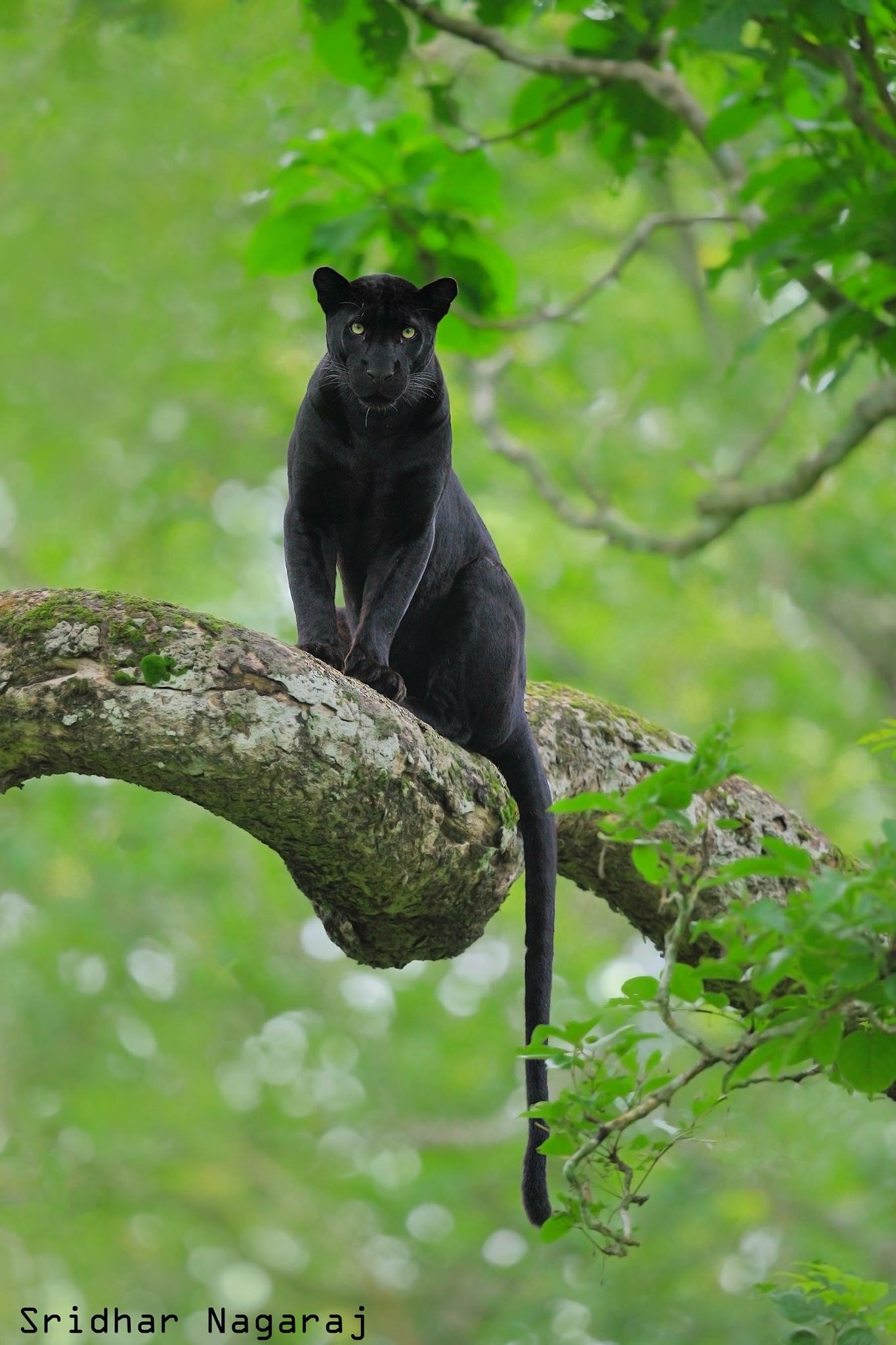 Black Panthers in India