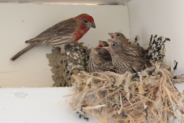 Business lesson from House Finches