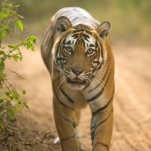 sariska package tiger