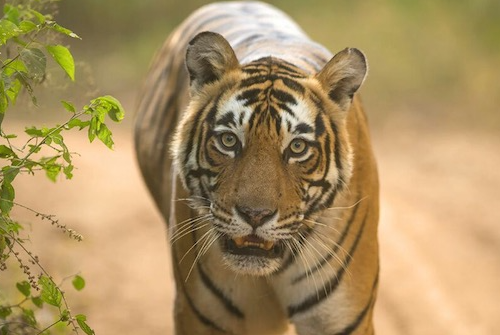 inexpensive jeep safari at Ranthambore