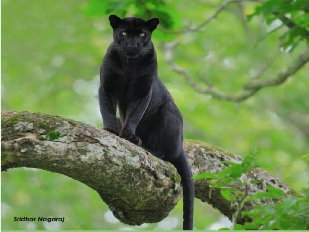black panther shot in kabini